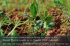 s07-06-bfkl-p06-erbsen-phacelia-gut