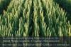 Qualitätsweizen: Bei jeder Handlung die Auswirkung auf die Stickstoffeffizienz hinterfragen. Foto: Peter Gaß